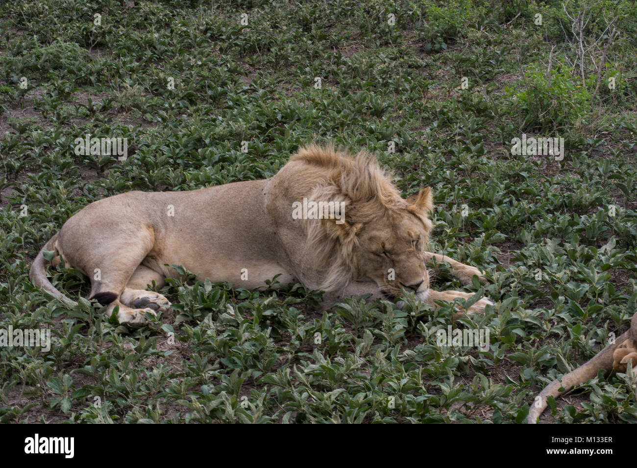 Male lion, King of the jungle, sleeping peacefully in the Serengetti in Tanzania on a lush green bed with furry - Stock Image