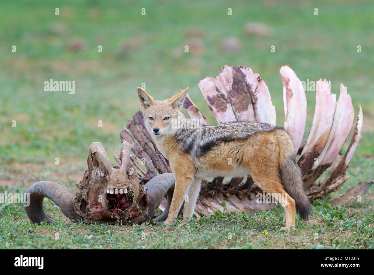 Black-backed Jackal (Canis mesomelas) at the carcass of a Cape Buffalo (Syncerus caffer caffer), Addo Elephant National Stock Photo