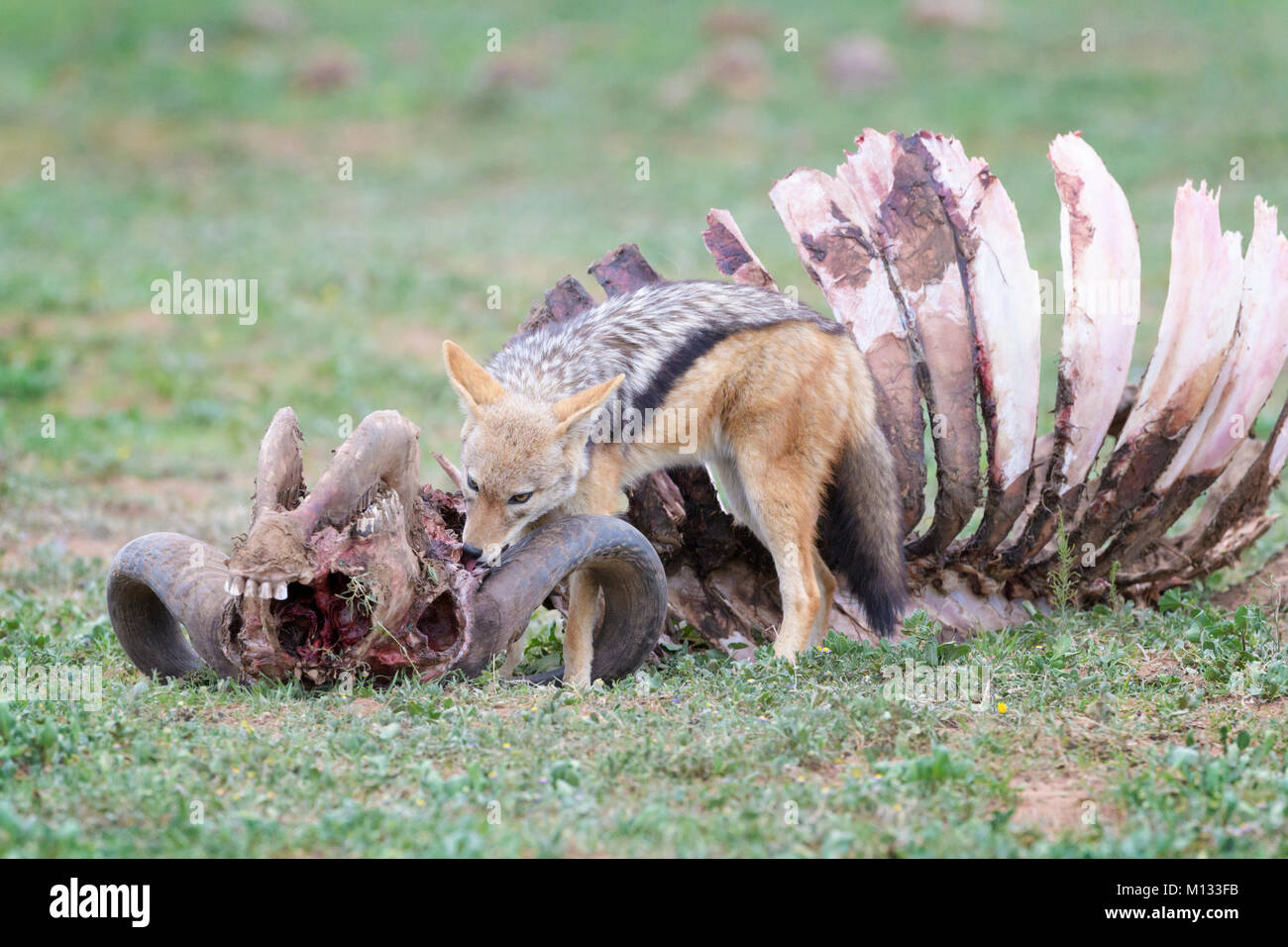 Black-backed Jackal (Canis mesomelas) at the carcass of a Cape Buffalo (Syncerus caffer caffer), Addo Elephant National - Stock Image
