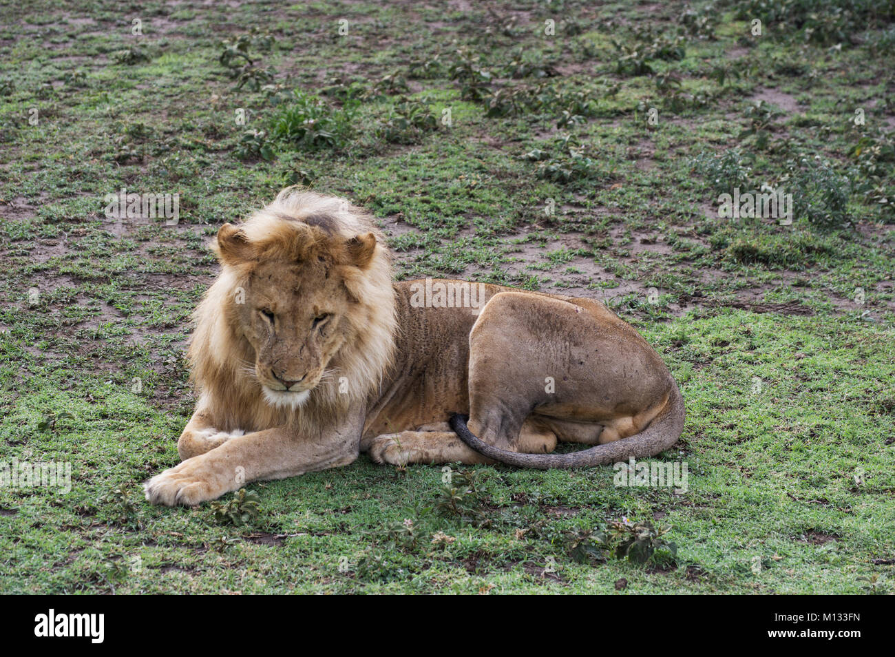 Male lion, King of the jungle, in the Serengetti in Tanzania on a lush green bed with furry paws and mane - Stock Image