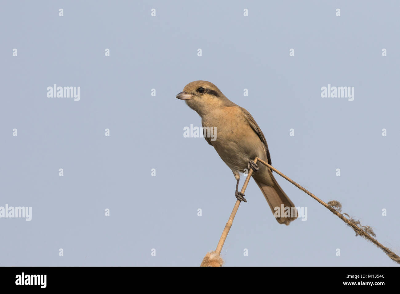 Beautiful Isabelline Shrike bird perched on a dry twig with a clean background - Stock Image