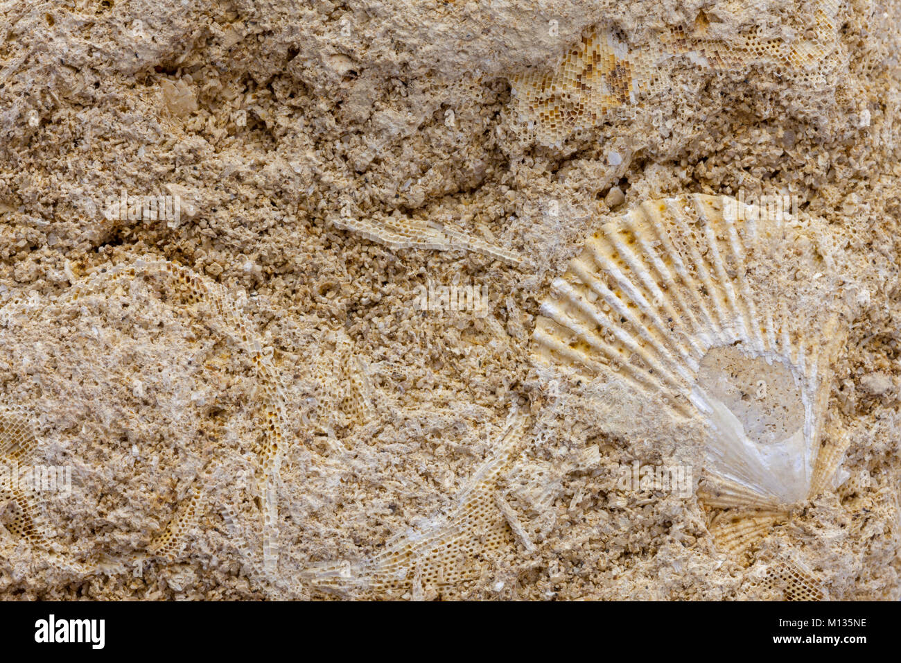 Detail of marine bryozoan fossils containing multiple specimins Stock Photo