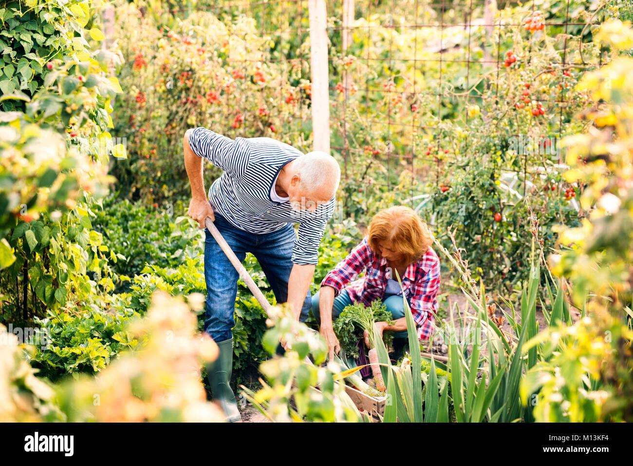 Senior couple gardening in the backyard garden. - Stock Image