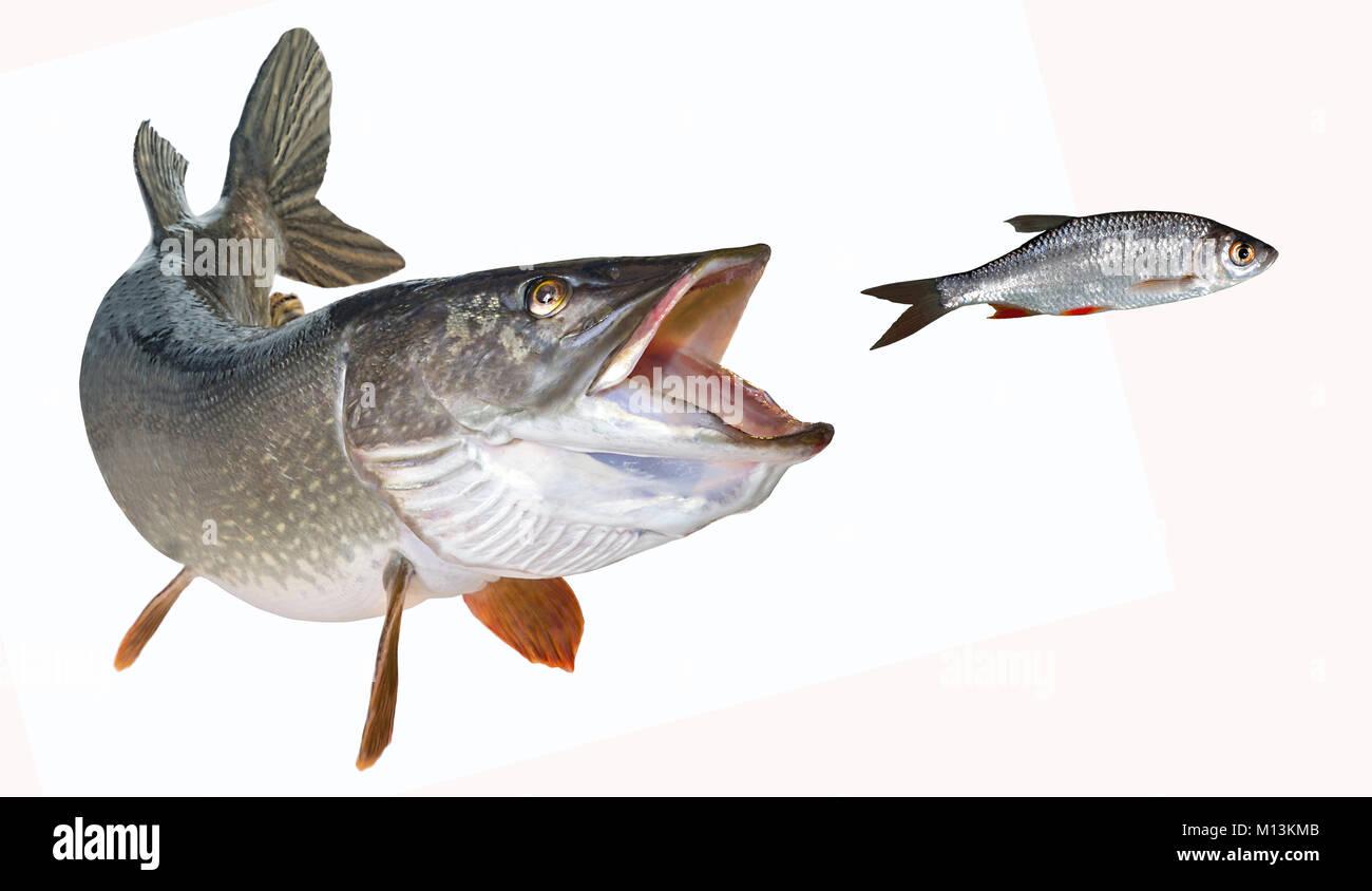 Flusshecht mit offenem Schlund jagt Rotfederfreigestellt Stock Photo