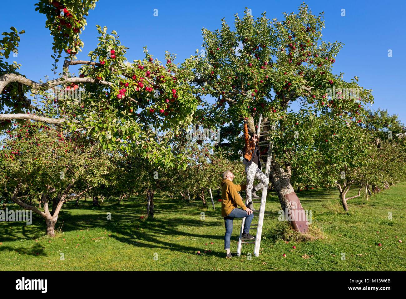 Canada, province of Quebec, the region of Quebec City, the island of Orleans, orchard, apple harvest Model release - Stock Image