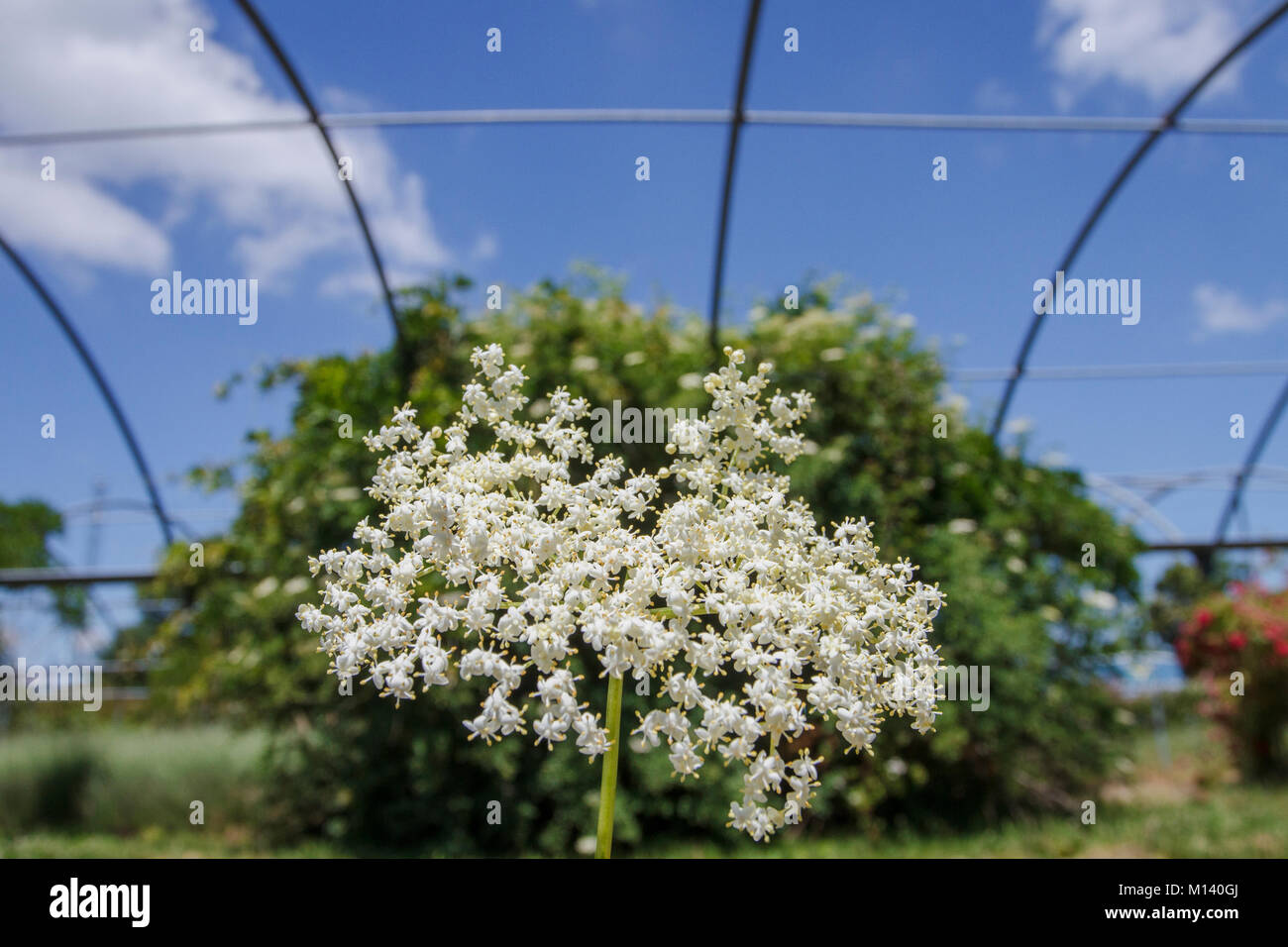 Black Elder (Sambucus nigra), flower and tree in greenhouse, Galicia, Spain. - Stock Image