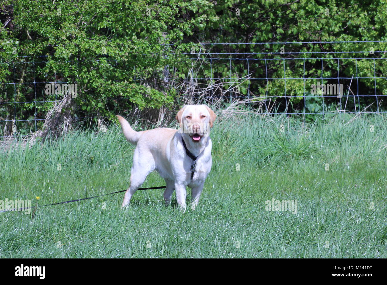 Golden Labrador Portrait in the sun. Buster - Stock Image