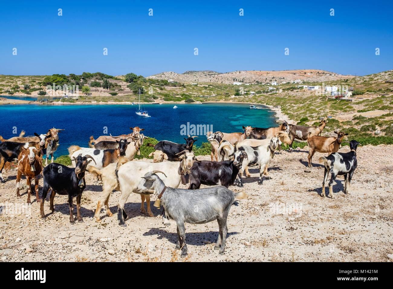 Geece, Dodecanese archipelago, Arki island, goats farming - Stock Image
