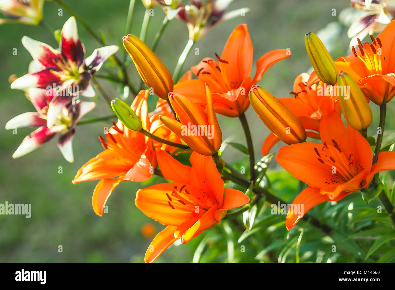 Tiger Lilies Garden Stock Photos Tiger Lilies Garden Stock