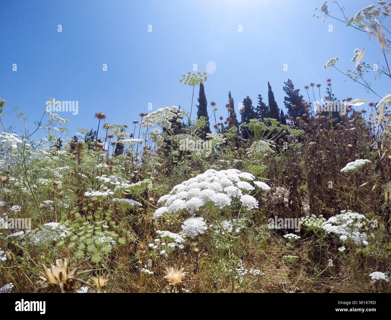 Ammi majus commonly called bishop's weed, false bishop's weed, bullwort, greater ammi, lady's lace, Queen Anne's Stock Photo
