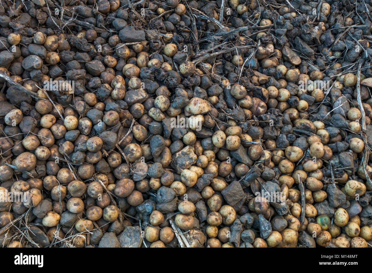 Mix of potatoes and stones left behind by farmer  on field. Netherlands - Stock Image