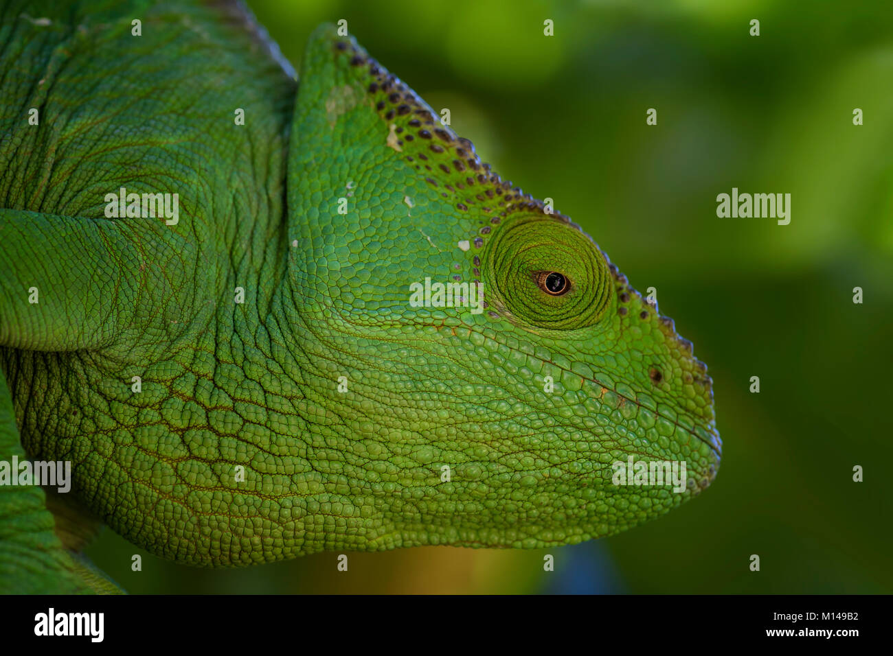 Parson's Chameleon - Calumma parsonii, rain forest Madagascar east coast. Colourful endemic lizard. - Stock Image