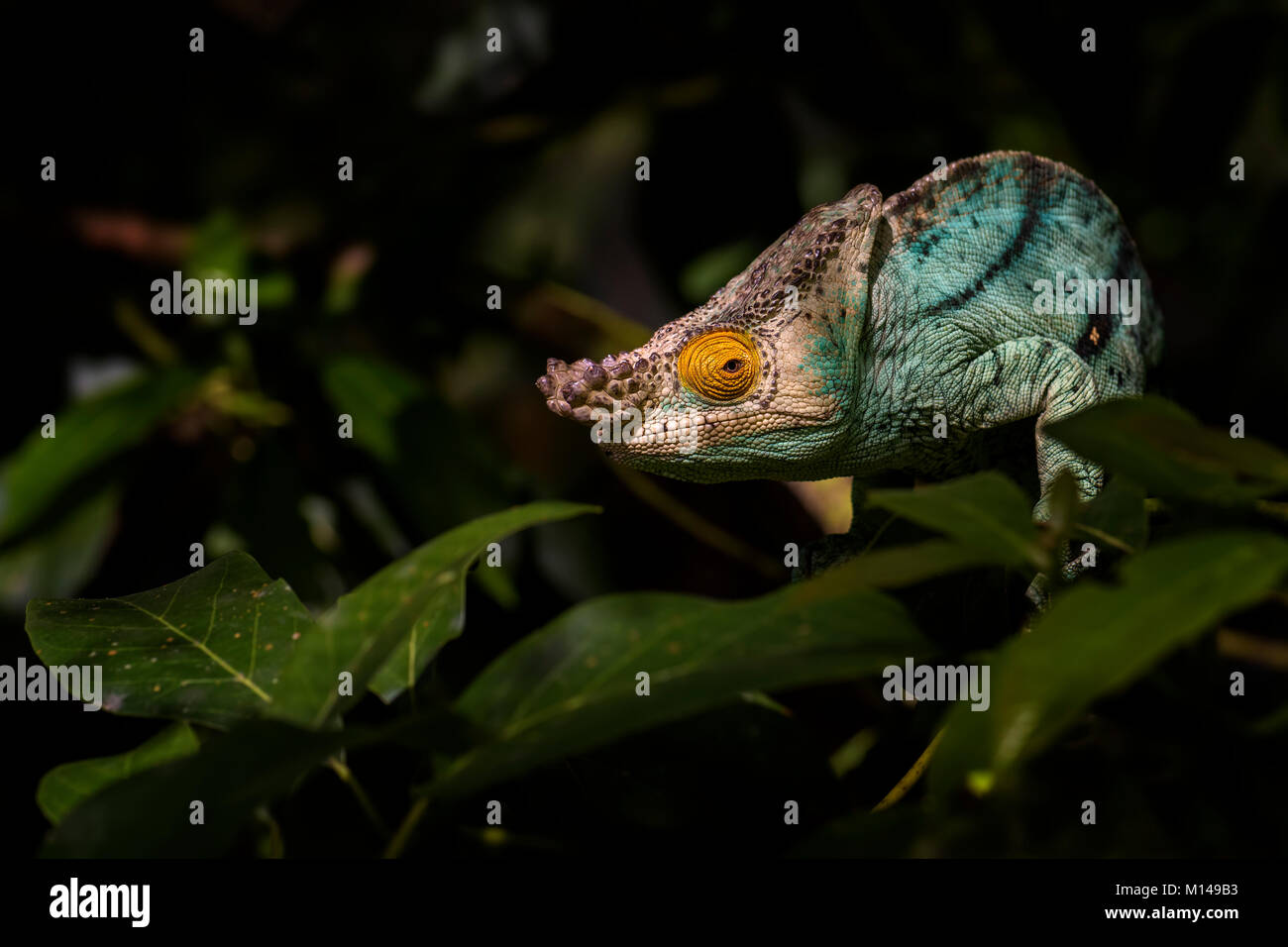 Parson's Chameleon - Calumma parsonii, rain forest Madagascar east coast. Colourful endemic lizard. - Stock Image