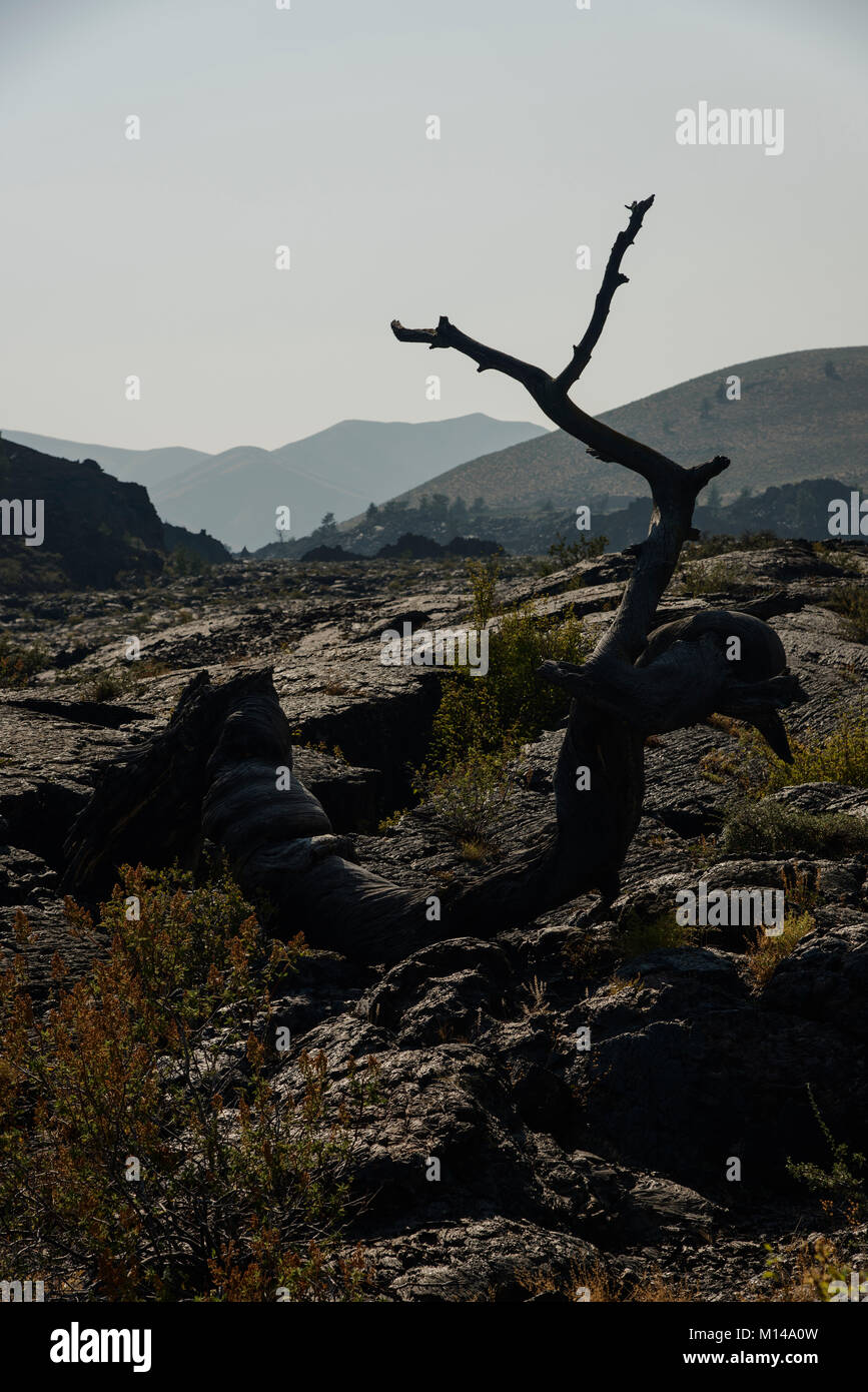 A distressed and dead limb of a tree rests in a lava field in Canyons of the Moon National Monument, Idaho. - Stock Image