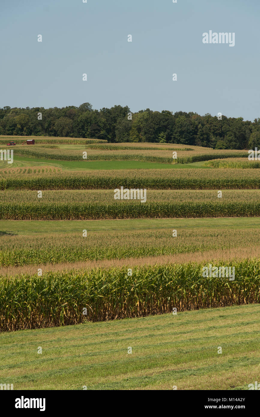 A corn crop outside Reedsburg, Wisconsin, USA, is planted in bands to allow for crop rotation. - Stock Image