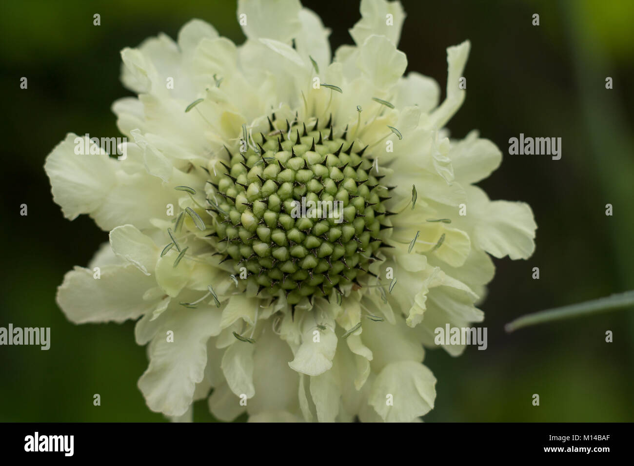 Giant Scabious Flower - Stock Image