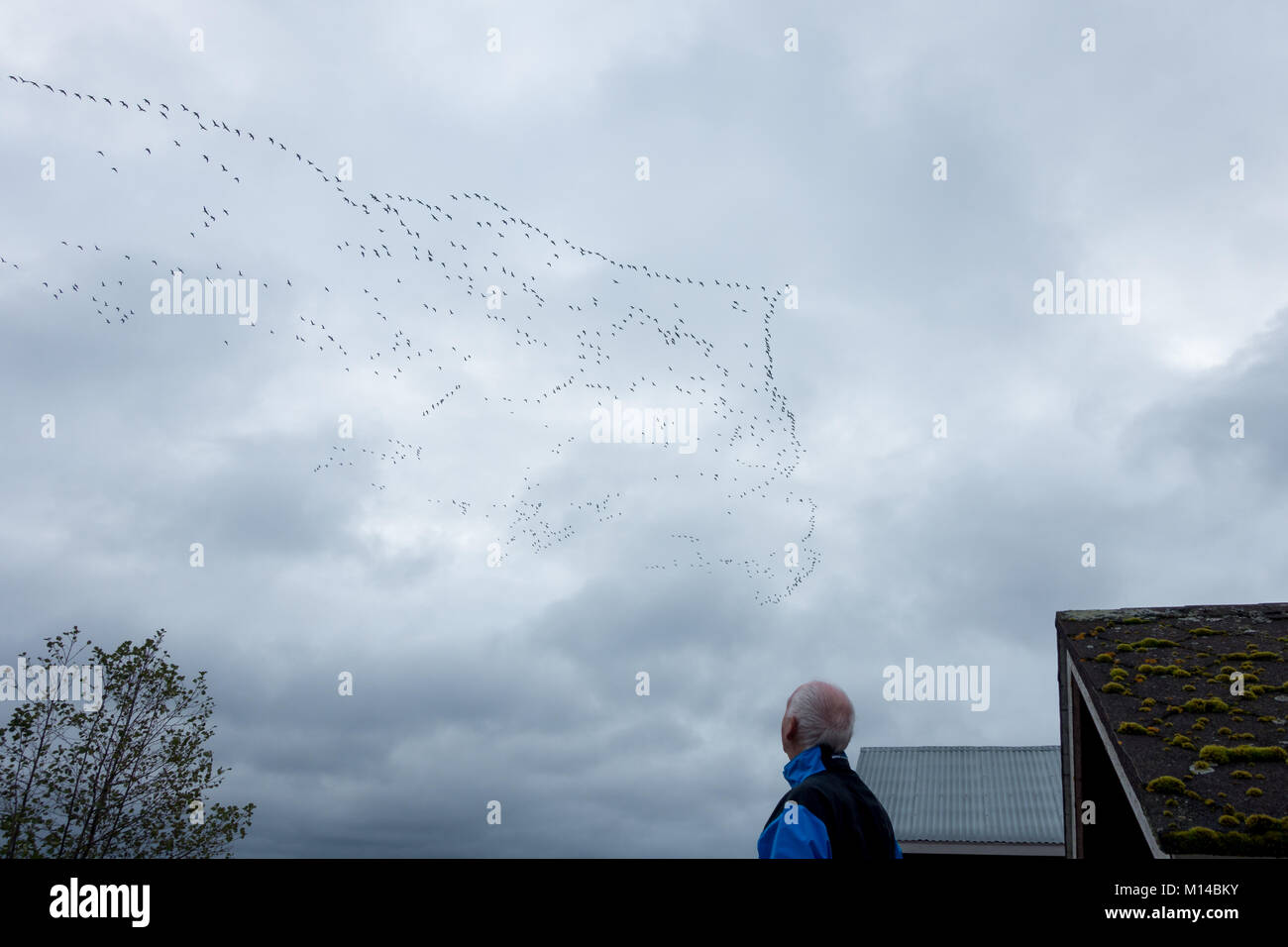 Finnish wildlife: person watching huge number of geese in mass migration, V formation skein, heading south for the - Stock Image
