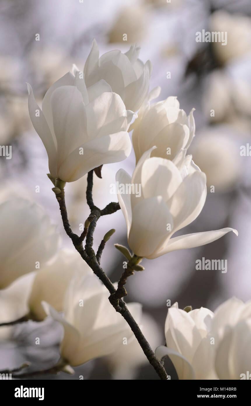 Magnolia denudata - Yulan-Magnolie - Stock Image