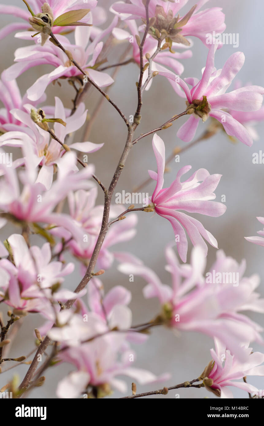 Magnolia x Loebneri  'Leonard Messel', Magnolie Stock Photo