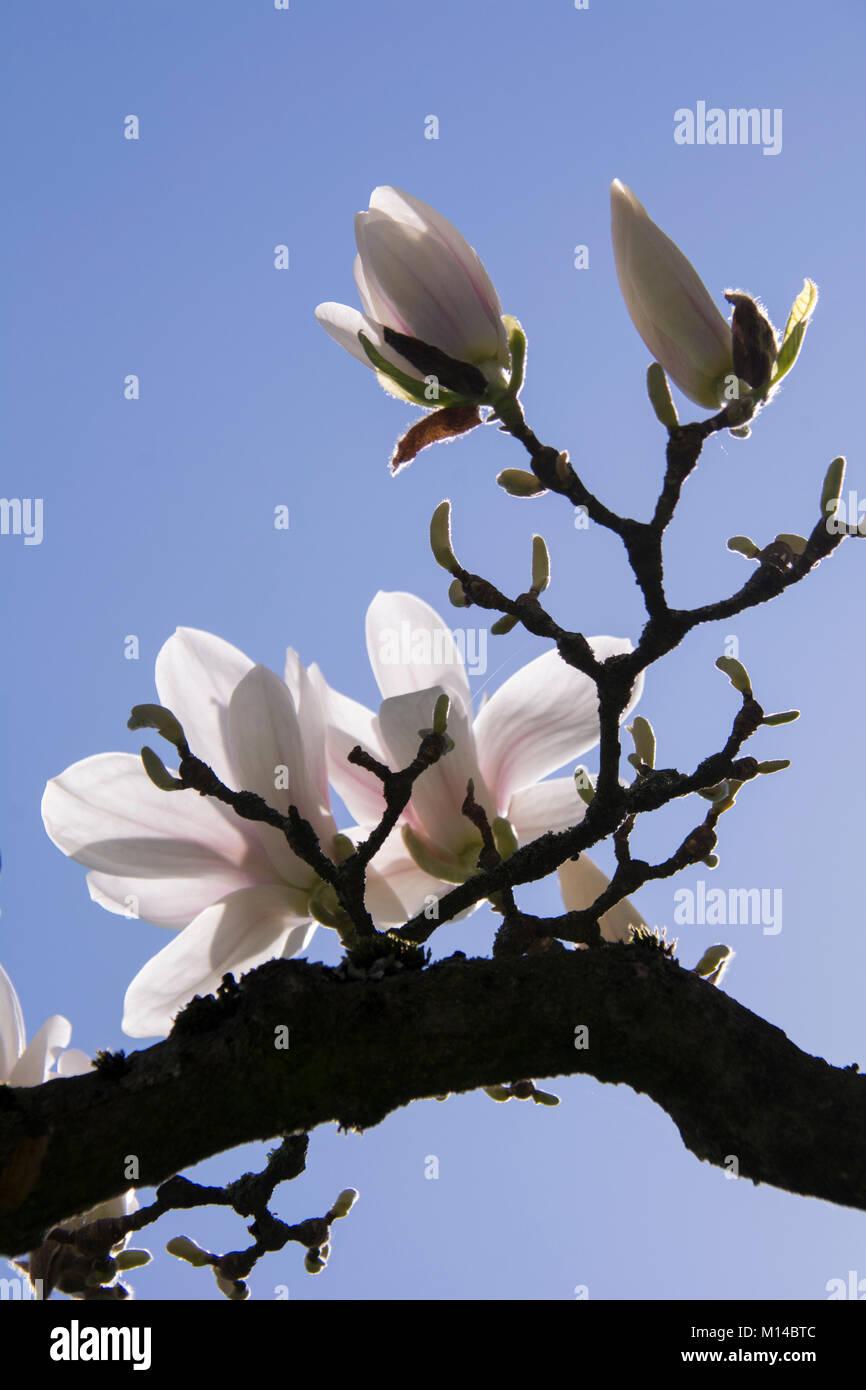 Magnolia x soulangeana - Tulpen-Magnolie, Magnolie Stock Photo