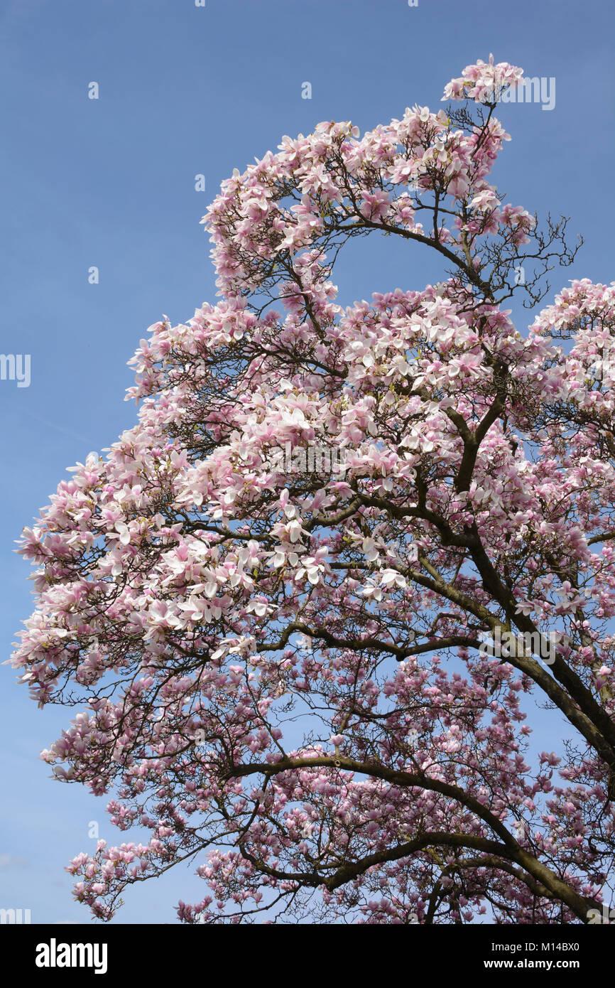 Magnolia, Magnolie - Stock Image