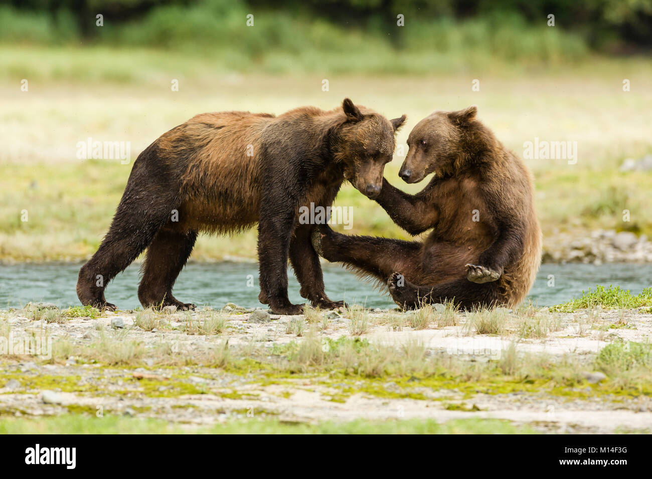 Brown bears wrestle for dominance to fish for salmon along Geographic Creek at Geographic Harbor in Katmai National - Stock Image