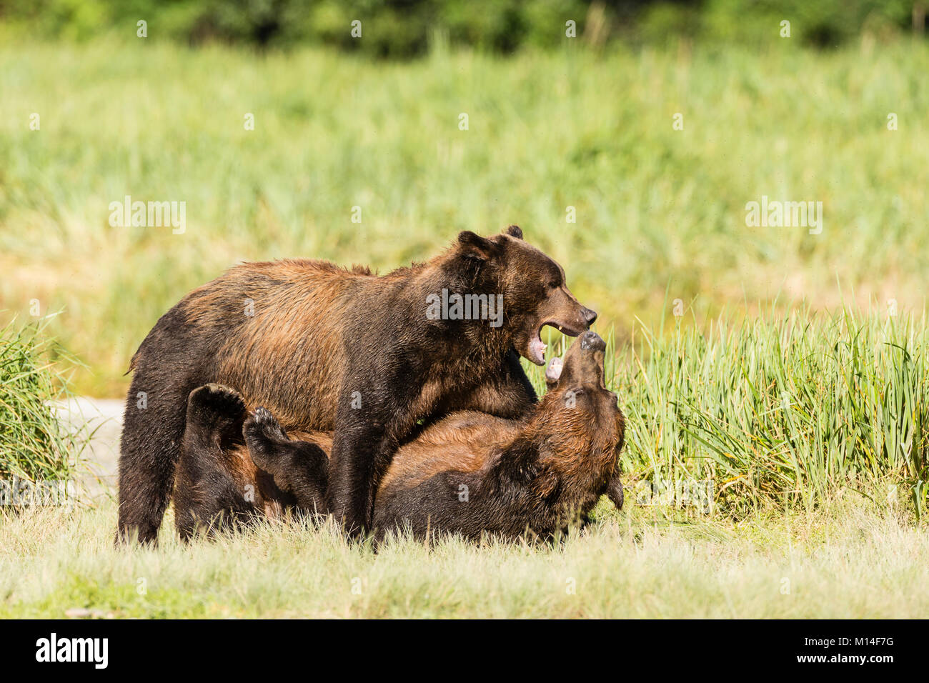 Male brown bears wrestle for dominance to fish for salmon along Geographic Creek at Geographic Harbor in Katmai - Stock Image