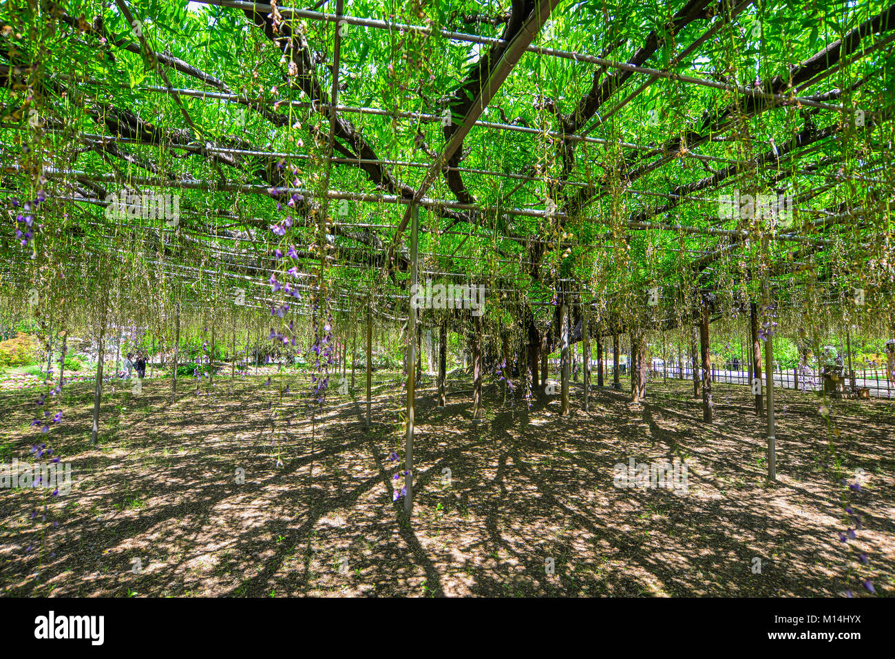 Great Wisteria tree at flower park in Tochigi, Japan. - Stock Image