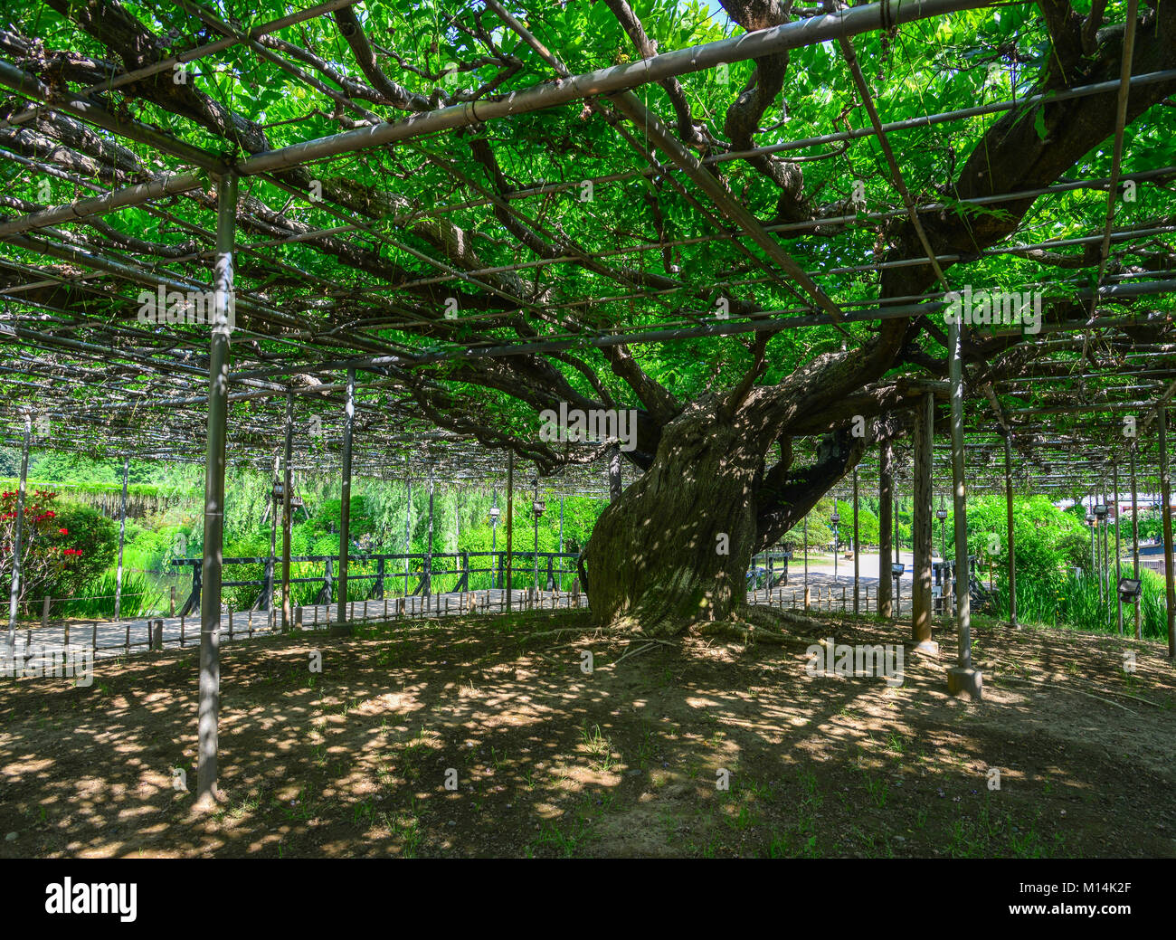 Great Wisteria tree at the park in Tochigi, Japan. - Stock Image