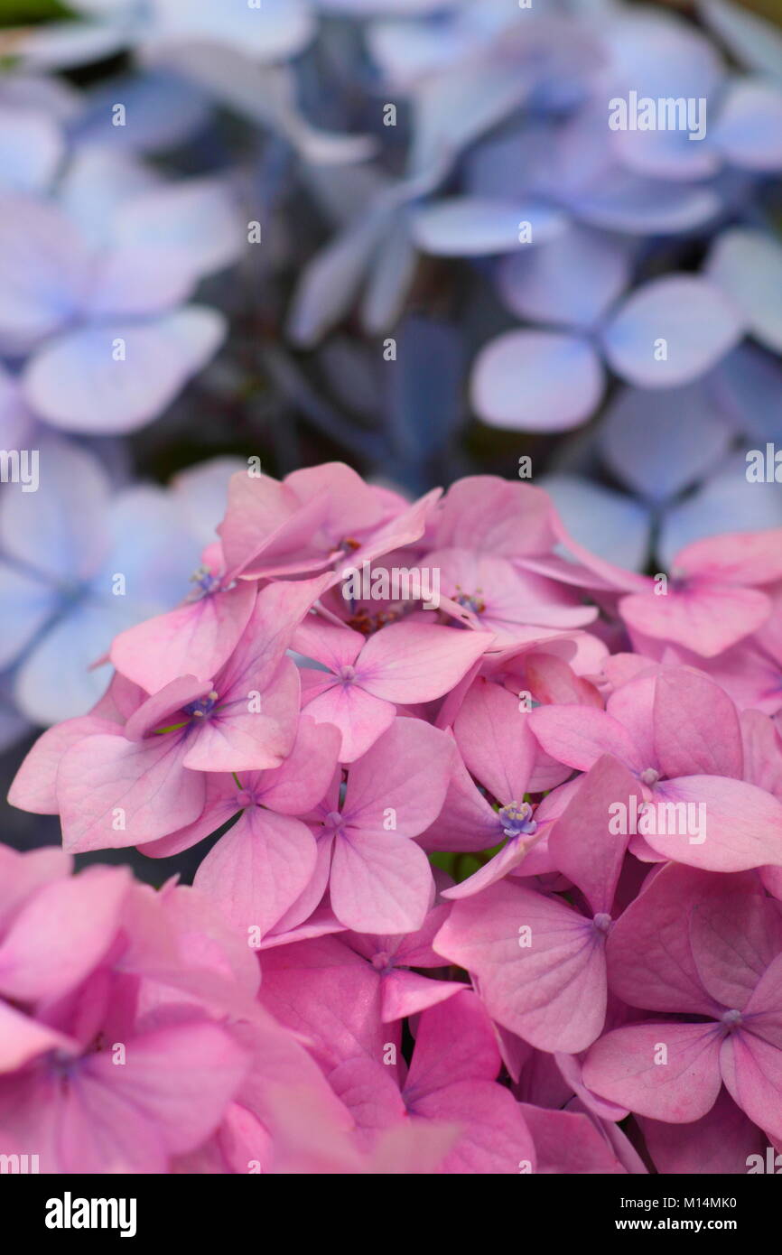 Pink And Blue Mophead Flowers Of Hydrangea Macrophylla Bouquet