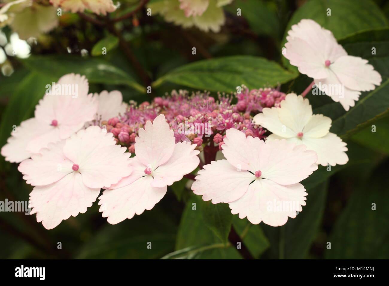 Hydrangea macrophylla 'Nadeshiko-gaku' in flower in a garden border in summer (August), England, UK - Stock Image