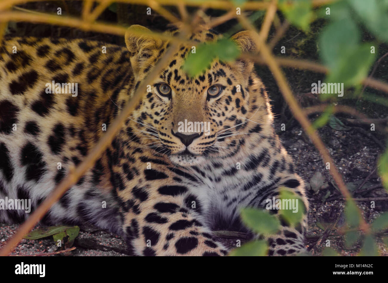 Amur leopard prowling in the undergrowth - Stock Image