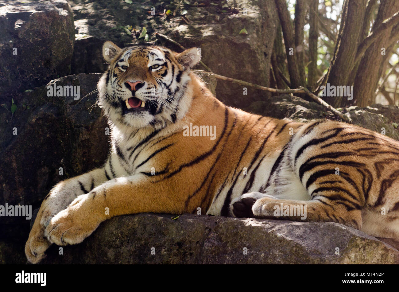 An Amur tiger prowling in the undergrowth - Stock Image