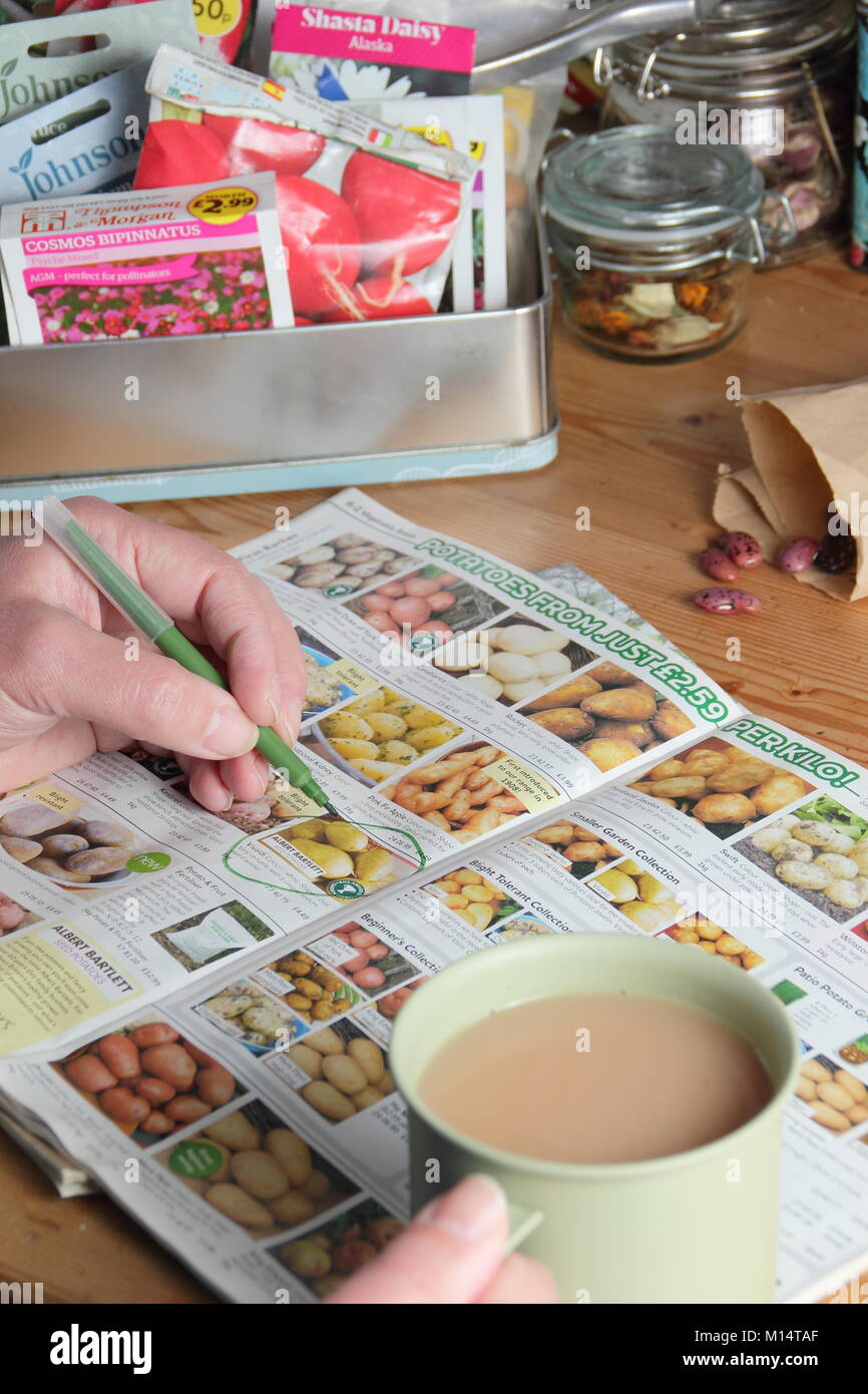 Ordering seed potatoes from a catalogue for the new planting season, in an English garden room in winter (January), - Stock Image