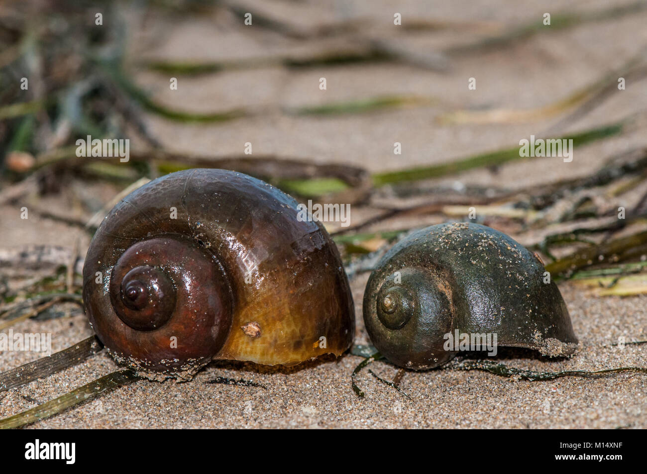 close-up view of a freshwater apple snail (pomacea insularum), considered a plague in the ebro delta, Delta de l'Ebre, Stock Photo