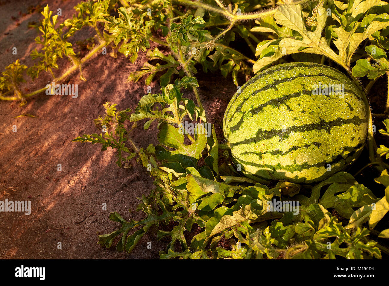how to grow watermelon in bc