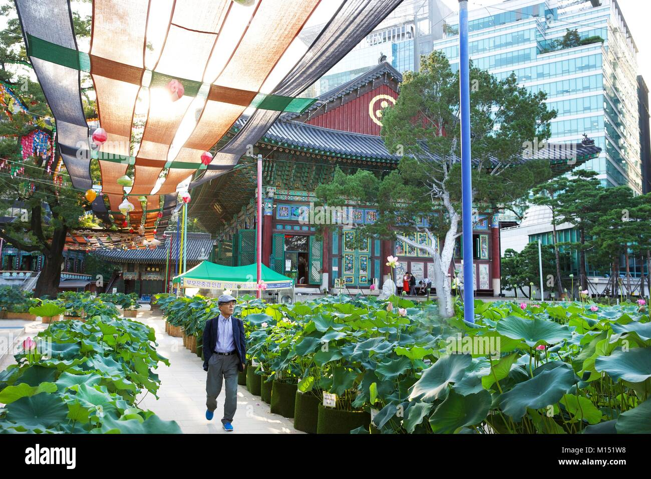 South Korea, Seoul, old man in the courtyard of the Joyesa temple decorated with lotus in pots - Stock Image