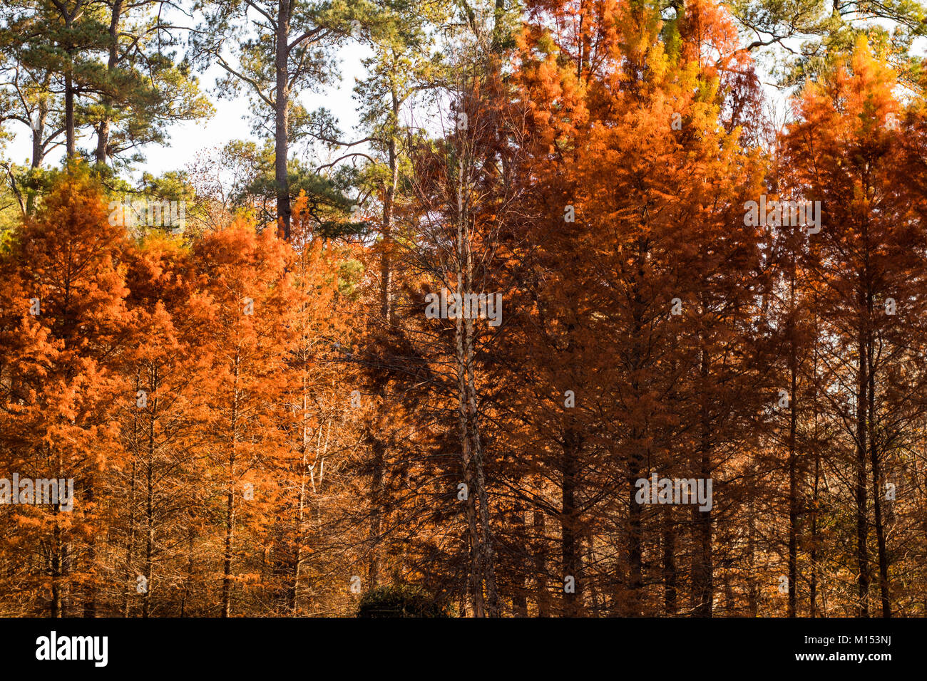 Fall colors at the Cape Fear Botanical Garden Stock Photo: 172831054 ...