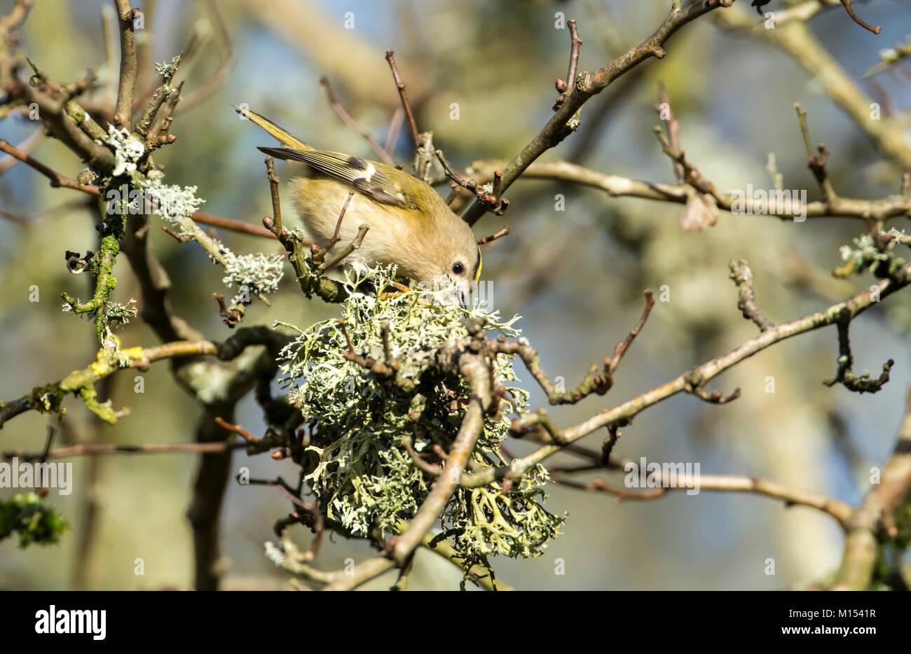 Goldcrest (Regulus regulus) foraging for invertebrates in a lichen-encrusted tree. - Stock Image