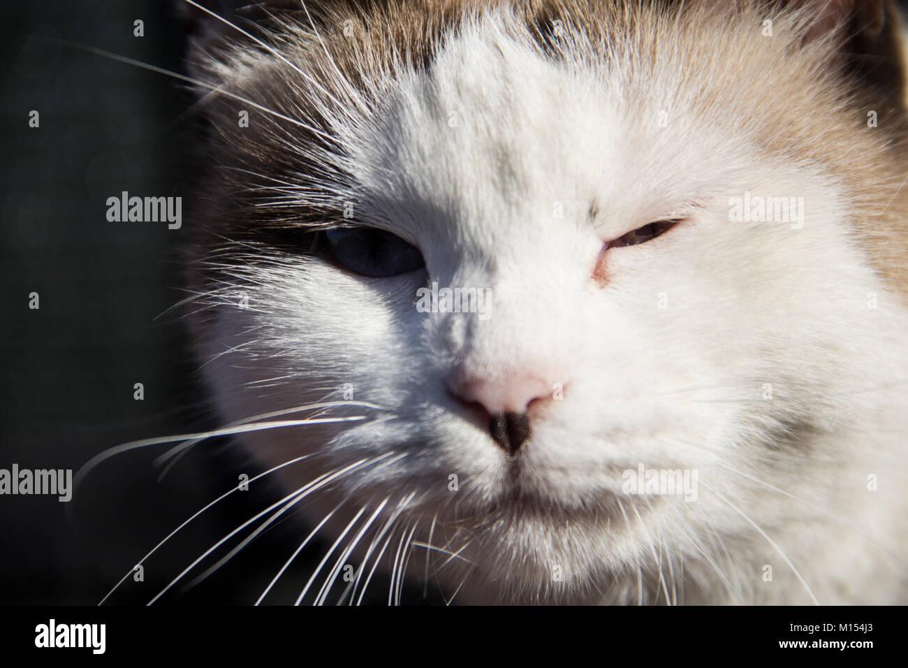 White cat with injured eye - Stock Image
