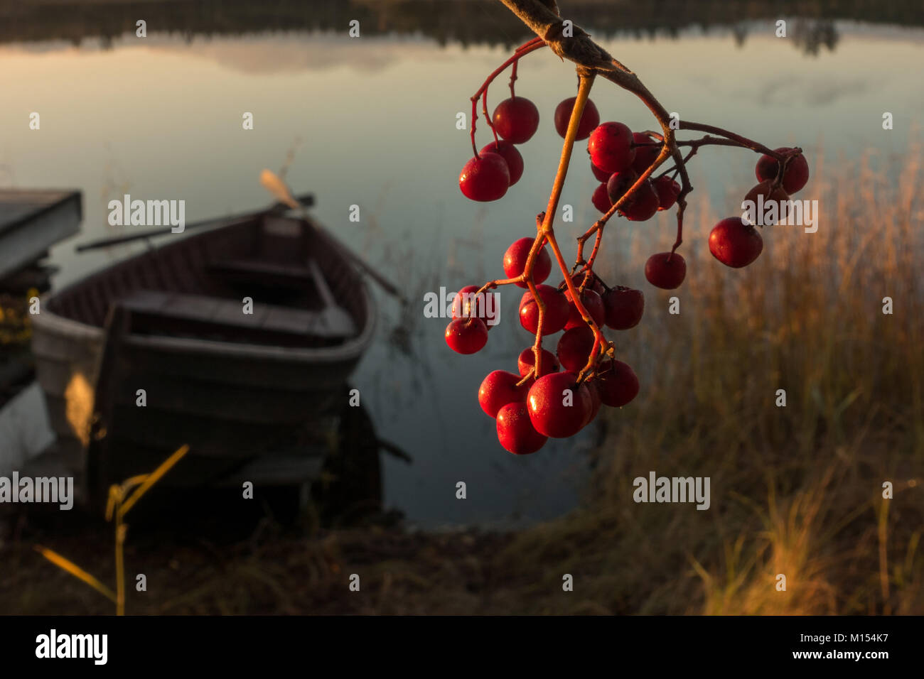 Finnish landscape: close up of red rowan berries with traditional kaisla rowing boat on a lake in Finland - Stock Image