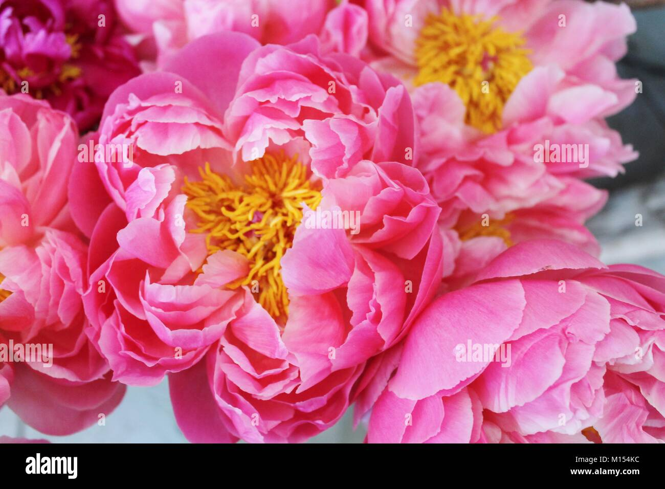 beautiful bunch of bright pink peonies in bloom - Stock Image