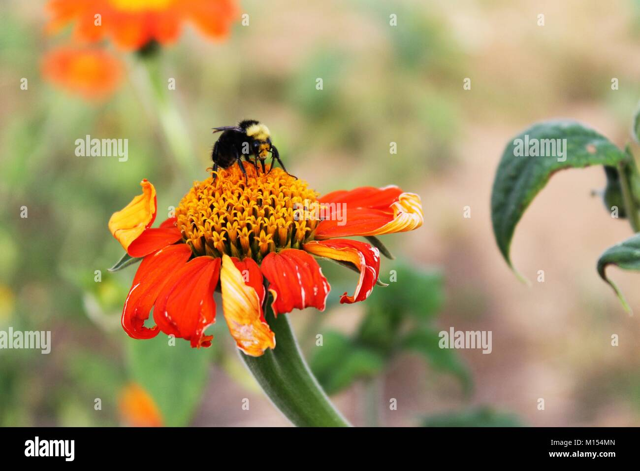 bee pollination on orange daisy in garden - Stock Image