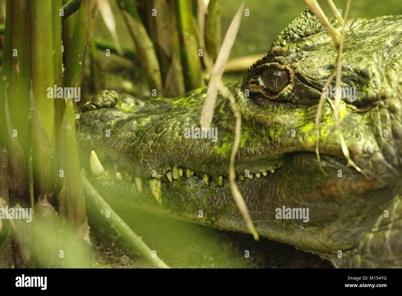 Caiman in animal park - Stock Image