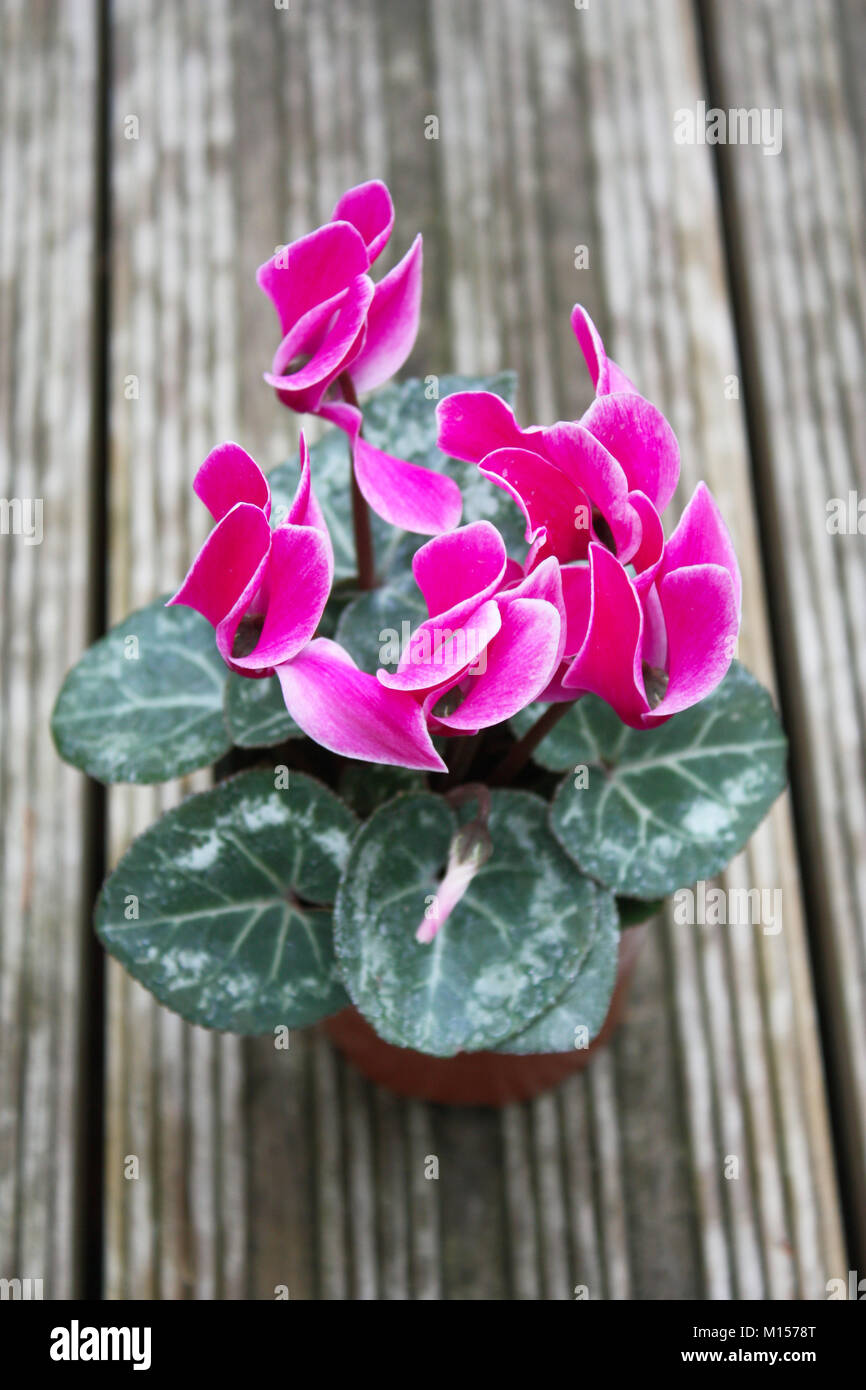 Pink cyclamen flowering plants Stock Photo