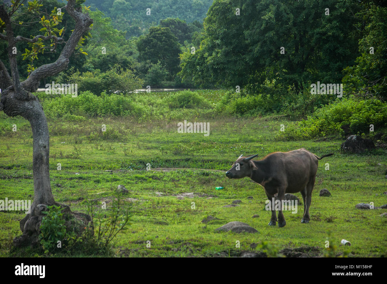 Water Buffaloes grazing in Sidenreng Rappang Regency, South Sulawesi, Indonesia. - Stock Image
