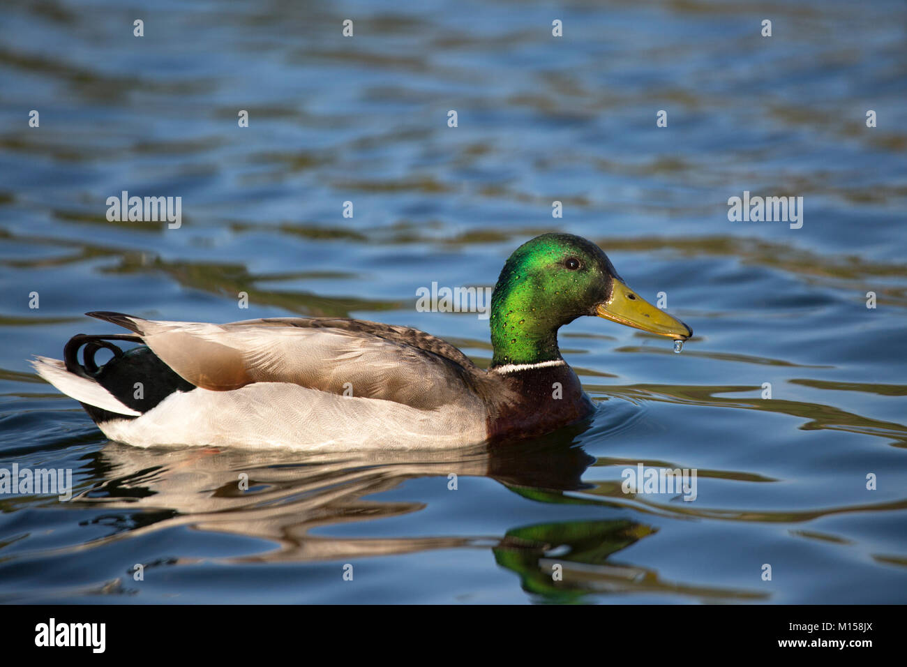 Mallard duck drake (Anas platyrhynchos) - Stock Image