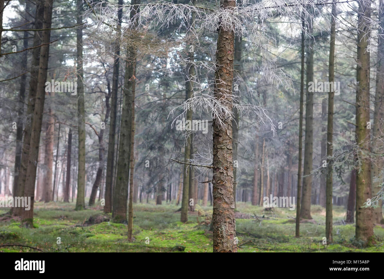 frosted spruces in coniferous forest in winter - Stock Image