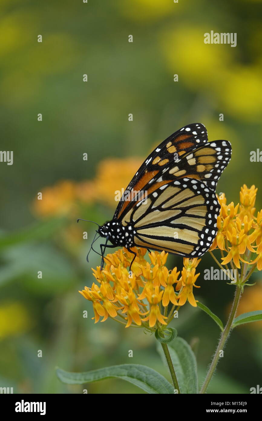 Monarch Butterfly on a Yellow Flower in a Garen Stock Photo