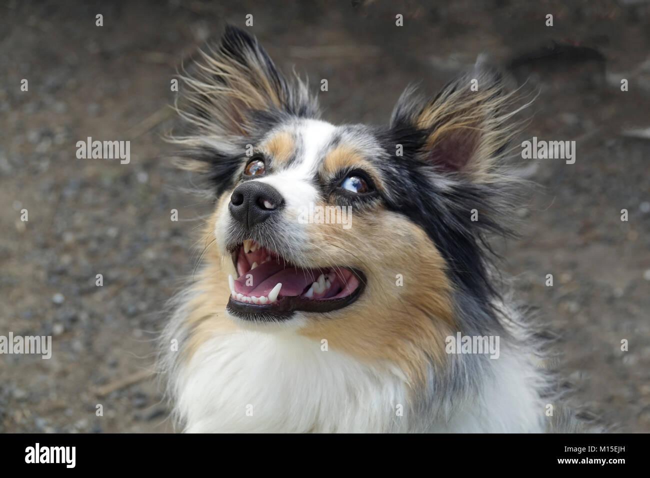 Happy Australian Shepherd Outside Stock Photo